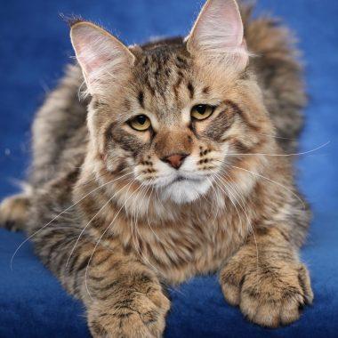 Pixie-Bob kittens
